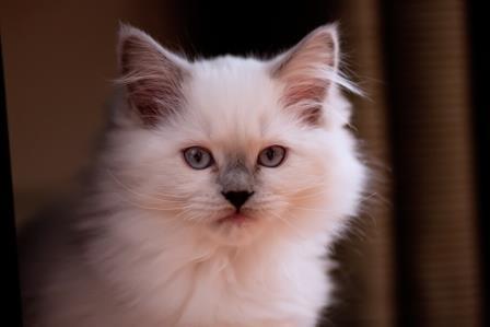 Nala - Ragdoll Kitten of the Month