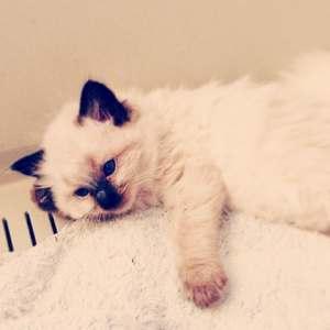 Hendrix - Ragdoll Kitten of the Month6