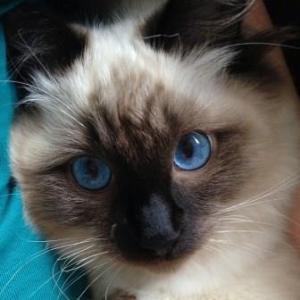 Hendrix - Ragdoll Kitten of the Month8