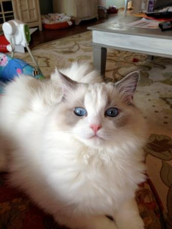my beautiful show kitty, Annie
