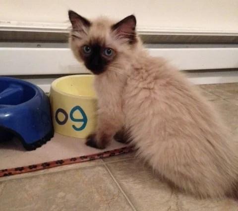 Sookie - Ragdoll Kitten of the Month