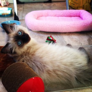 Sookie - Ragdoll Kitten of the Month4