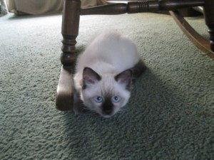 Stella - Ragdoll Kitten of the Month