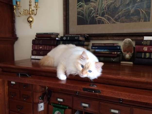 Barry Cream Mitted Ragdoll Cat
