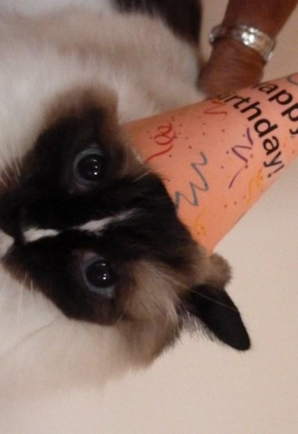 Ragdoll Cat Murphy Happy 10th Birthday 2014