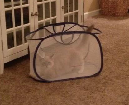 Napa, Raqgdoll Kitten in a Laundry Basket