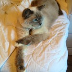 Pictures of Ragdoll Cats With Their Paws Crossed