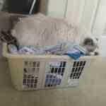 Ragdoll Cat in a Laundry Basket