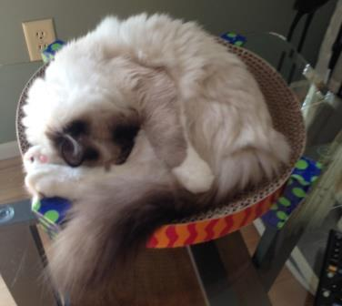 Ragdoll Cat on the Petstages Easy Scratch and Rest - Perry loved by Caitlin