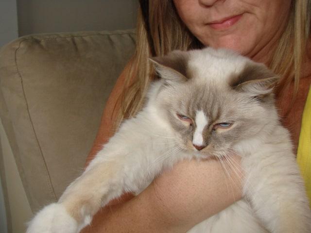 Ragdoll Cat Adoption Chilliwack, British Columbia