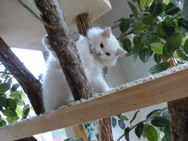 Lake - Ragdoll Kitten of the Month4