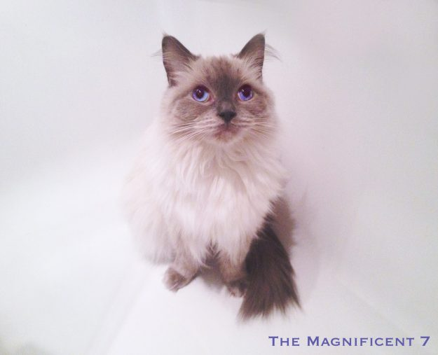 Ragdoll Cat Pixie from The Magnificent 7 in Bathtub