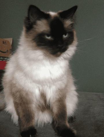 Sookie - Ragdoll of the Week 2