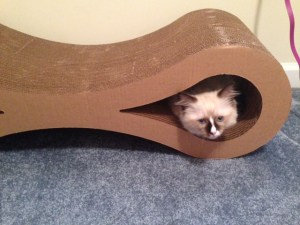 Perry Ragdoll of the Week ROTW 5 Perry loving the Karma infinity pet scratcher