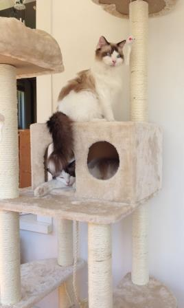 Bob and Stitch - Ragdolls of the Week 3