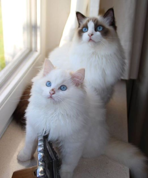 Flynn - Ragdoll of the Week buddies