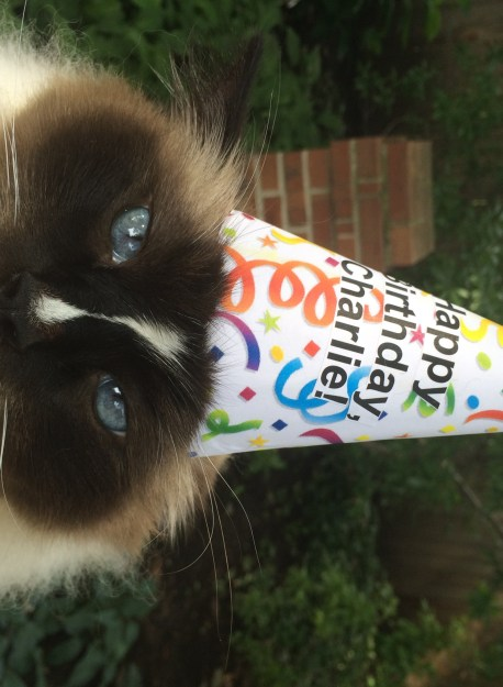 Ragdoll Cat Charlie 6th Birthday Photo