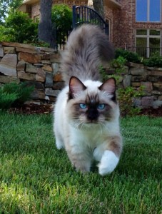 Bradley - Ragdoll of the Week  6