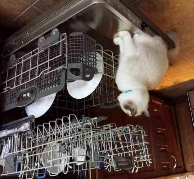 Muffin - Ragdoll Kitten of the Month (5)