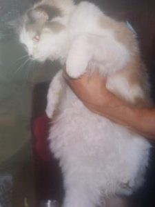 Pearly - Ragdoll of the Week 4