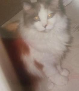Pearly - Ragdoll of the Week 6