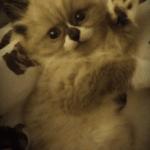 Apollo – Ragdoll Kitten of the Month