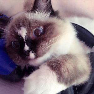 Floppycats.com Published by Jenny Dean Page Liked · 5 mins · Evie - Ragdoll of the Week