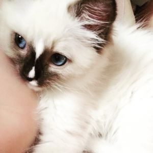 Floppycats.com Published by Jenny Dean Page Liked · 6 mins · Evie - Ragdoll of the Week