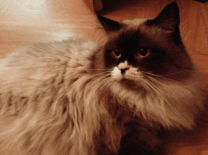 Hugo – Ragdoll of the Week 2