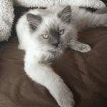 Jeter – Ragdoll Kitten of the Month