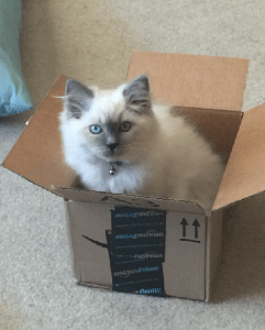 Jeter - Ragdoll Kitten of the Month Box