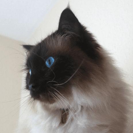 Moomin - Ragdoll of the Week 8