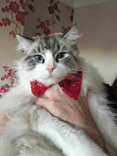 Casper Ragdoll of the Week Me 4 In my bow tie