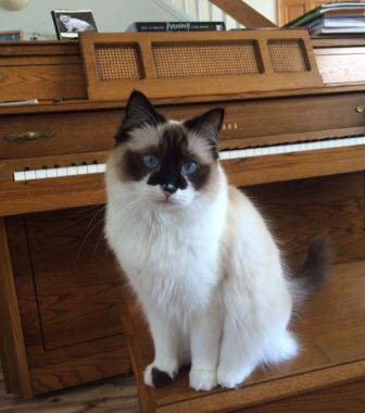 Dorothy Bow Dottie - Ragdoll of the Week 3