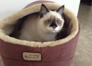 Dorothy Bow Dottie - Ragdoll of the Week 4