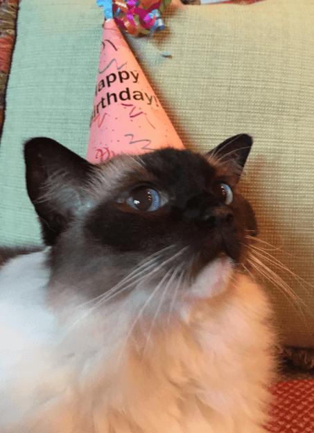 Caymus Birthday 2016 12 year old Ragdoll Cat 2