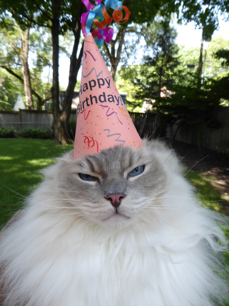 Ragdoll Cat Trigg Turns 7 Years Old 2