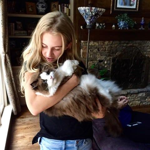 Katniss - a Mink Mitted Bi-Color Seal Point Ragdoll Cat