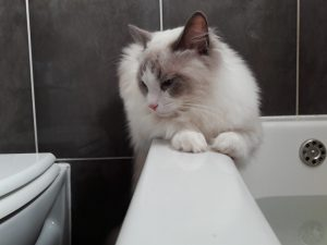 Jeremy - Ragdoll of the Week (5)