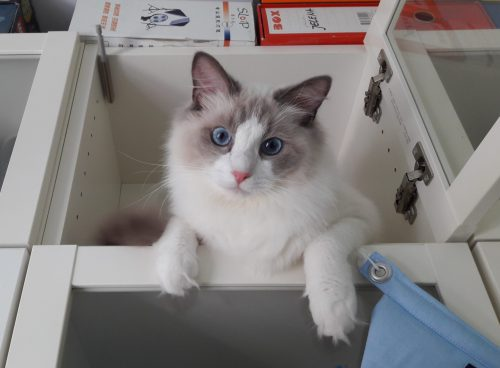 Jeremy - Ragdoll of the Week (6)