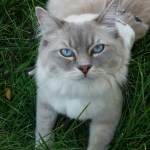 Mr. Blue – Ragdoll of the Week