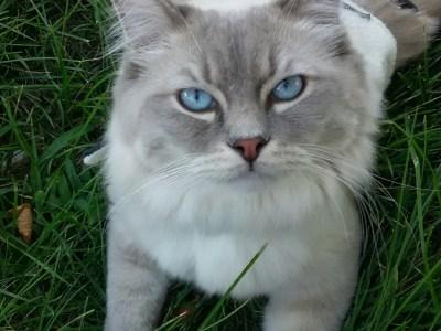 Mr. Blue – Ragdoll of the Week