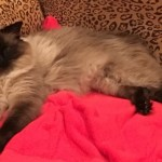 Duke – Ragdoll of the Week