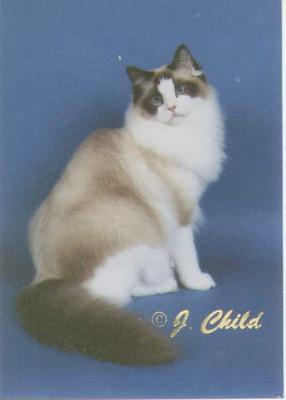 Bandit is a seal bicolor Ragdoll
