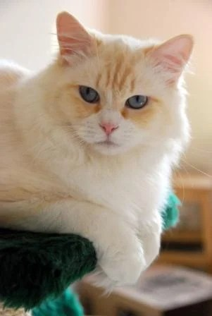 Pacificats Big Red Obelix, seven months old