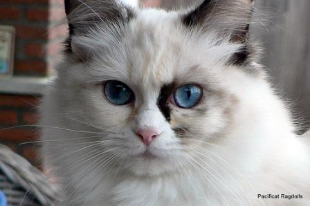Pacificats Pippa Longstockings, a seal tortie point bicolor girl