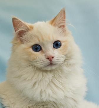 Gizmo, a Cream Colored Bicolor Ragdoll