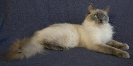 Candy Kisses of KissingRagdolls Cattery