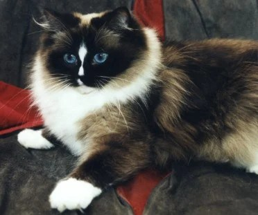 Tori, a Seal Mitted Ragdoll with a Blaze
