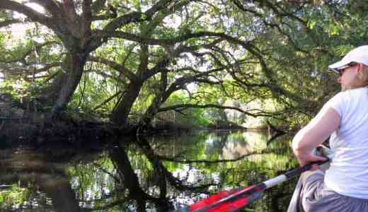 Live oaks arch over Telegraph Creek near Fort Myers, providing shade on sunny days.